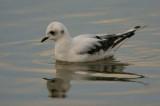 Ross's Gull, Ormsary, Argyll