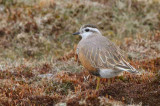 Dotterel on Lowther Hill, Clyde district.