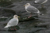 Adult winter, Herring Gull in background. River Ayr in Ayr town centre