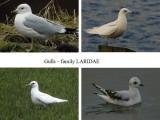 Gulls gallery