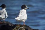 Little Gull, Balcomie, Fife