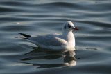 Adult winter plumage, Hogganfield Loch, Glasgow.