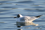 Adult winter starting to moult to summer plumage, Hogganfield Loch, Glasgow.