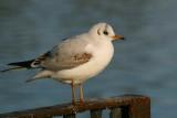 1st winter plumage, Hogganfield Loch, Glasgow.