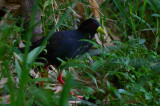 Black Crake, Shakawe Lodge, Botswana