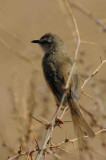 Black-chested Prinia, Spreetshoogte Pass, Namibia