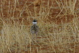 Crowned Plover chick
