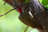 Golden-tailed Woodpecker, Shakawe Lodge, Botswana