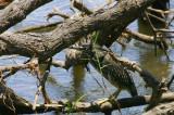 Green-backed Heron, Shakawe Lodge, Botswana