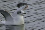 Mediterranean Gull (1st winter), Garnqueen Loch, Clyde