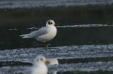 Mediterranean Gull (2nd winter), Musselburgh, Lothian