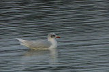 Mediterranean Gull (adult winter), Musselburgh, Lothian