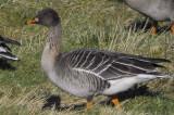 Bean Goose (Taiga & Tundra)
