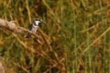 Pied Kingfisher, Shamvura, Namibia