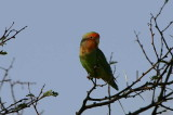 Rosy-faced Lovebird, Namibgrens Guest Farm, Namibia