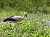 White Stork, Dalyan, Turkey