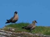 Great Skua (Bonxie), Handa Island SWT Nature Reserve
