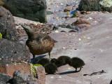 Female Eider Duck with chicks, Handa Island SWT Nature Reserve