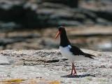 Oystercatcher, Handa Island SWT Nature Reserve