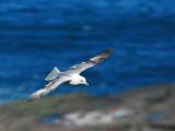 Fulmar, Handa Island SWT Nature Reserve