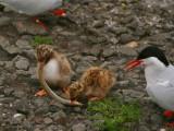 Arctic Tern chicks, Isle of May, Fife