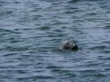 Grey Seal, Isle of May