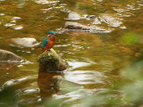 Common Kingfisher, Linn Park, Glasgow