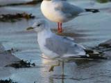 Common Gull, Balcomie Beach, Fife
