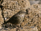 Rock Pipit, Maidens Harbour, Ayrshire