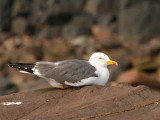 Lesser Black-backed Gull, North Berwick, Lothian