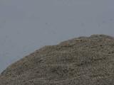Gannets on the Bass Rock