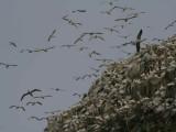 Gannets over the Bass Rock