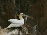 Gannet on the Bass Rock