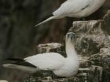 Gannet, Bass Rock