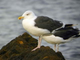 Great Black-backed Gull, Balcomie, Fife