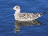 Lesser Black-backed Gull (juvenile), Hogganfield Loch, Glasgow