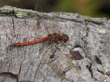 Dragon Fly, Bishop Loch, Glasgow