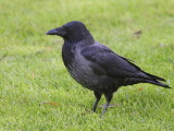 Hybrid Carrion/Hooded Crow, Strathclyde CP, Clyde