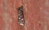 Eriocranioidea