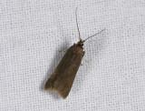 1123   Acompsia cinerella  0563.jpg