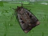 3016   Coenophila subrosea  6999.jpg