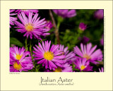 Italian Aster (Amellusasters /Aster amellus)