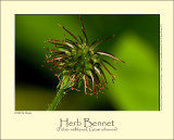 Herb Bennet (Feber-nellikerod / Geum urbanum)