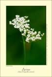 Anise (Anis / Pimpinella anisum)