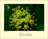 Blooming Ivy (Alm. Vedbend / Hedera helix)