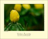 Vinter Aconite (Erantis / Eranthis hyemalis)