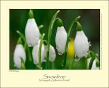 Snowdrop (Vintergæk / Gelanthus nivalis)