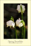 Spring Snowflake (Dorothealilje / Leucojum vernum)