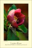 Lenten Rose (Rød Julerose / Helleborus orientalis ssp. abcasicus)