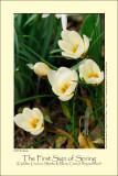 Golden Crocus (Skede-Krokus / Crocus chrysanthus)